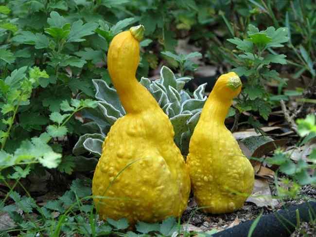 овощи похожие на