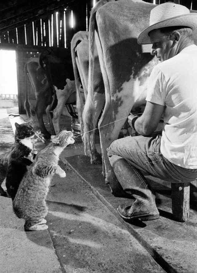 котик пьет молоко от коровы