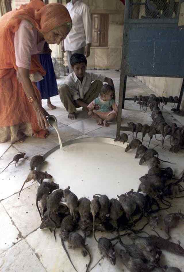 кормление крыс Индийский храм