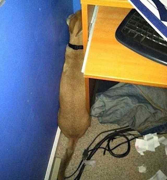 собаки играют в прятки