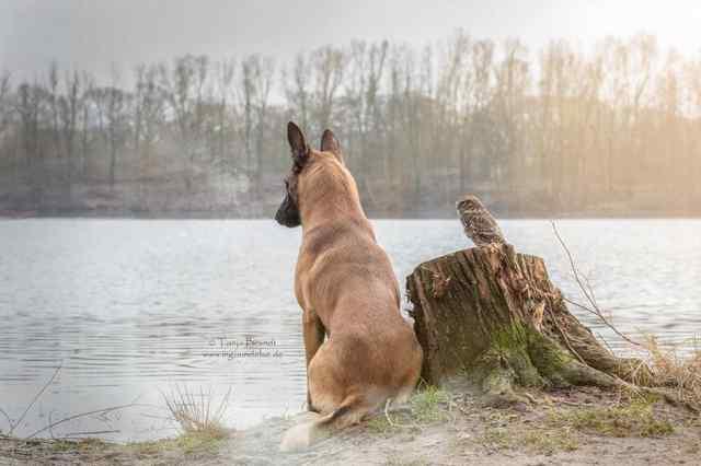 овчарка и сова друзья