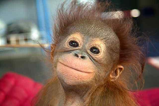 маленькая обезьянка улыбается