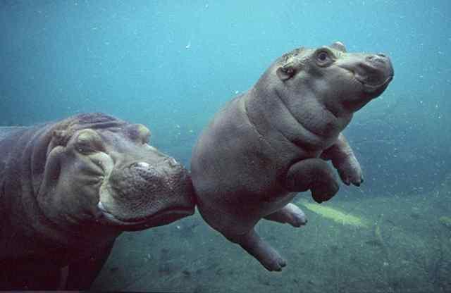 бегемоты плавают