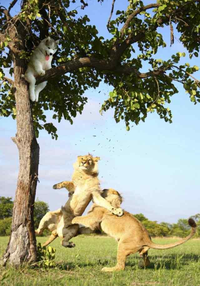 хаски на дереве