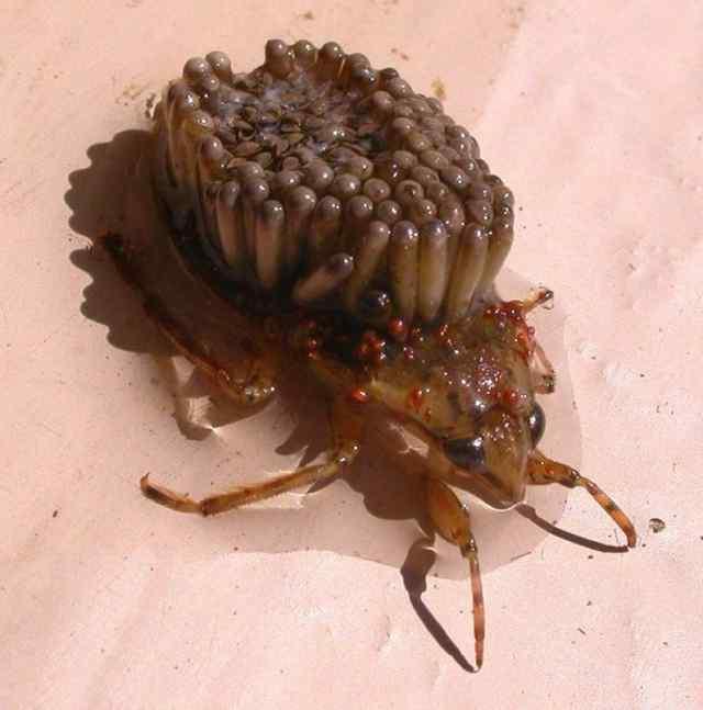 необычные насекомые