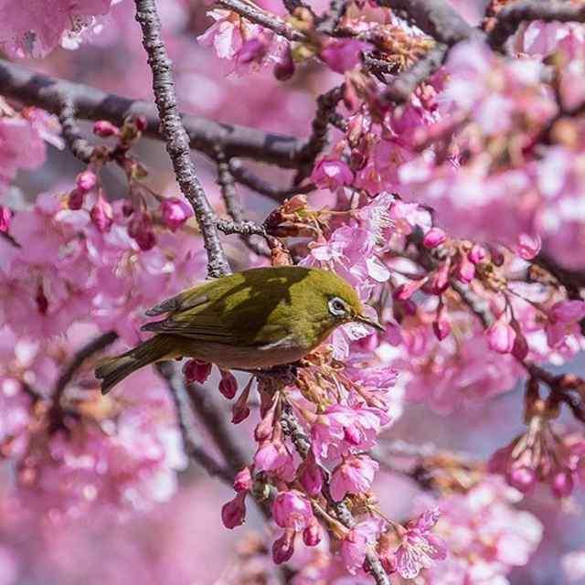 Весна пришла - сакура расцвела. Япония.
