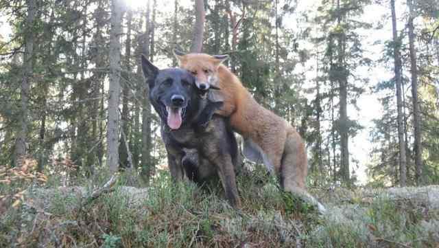 пес и лиса