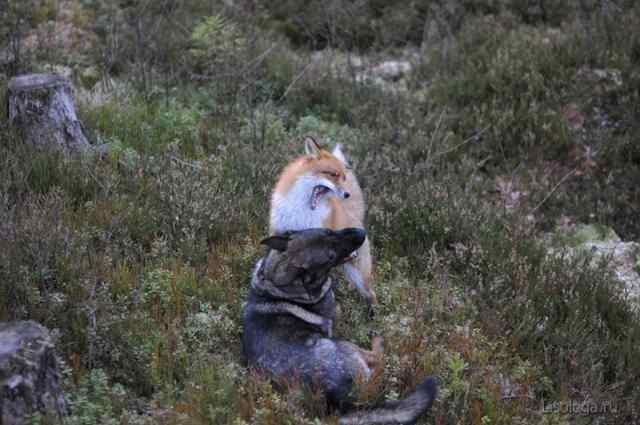 Торгиер Берг лиса и пес