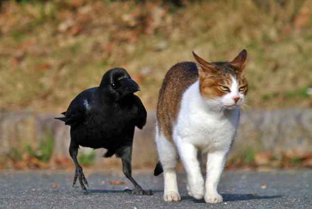 Вороны чертовски умные разбойники.