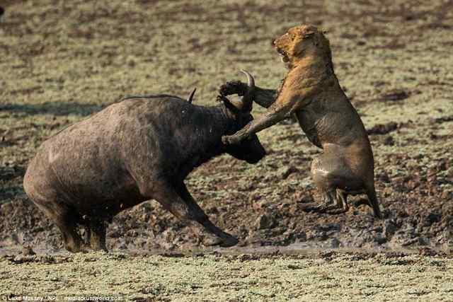 Борьба за жизнь в дикой природе.